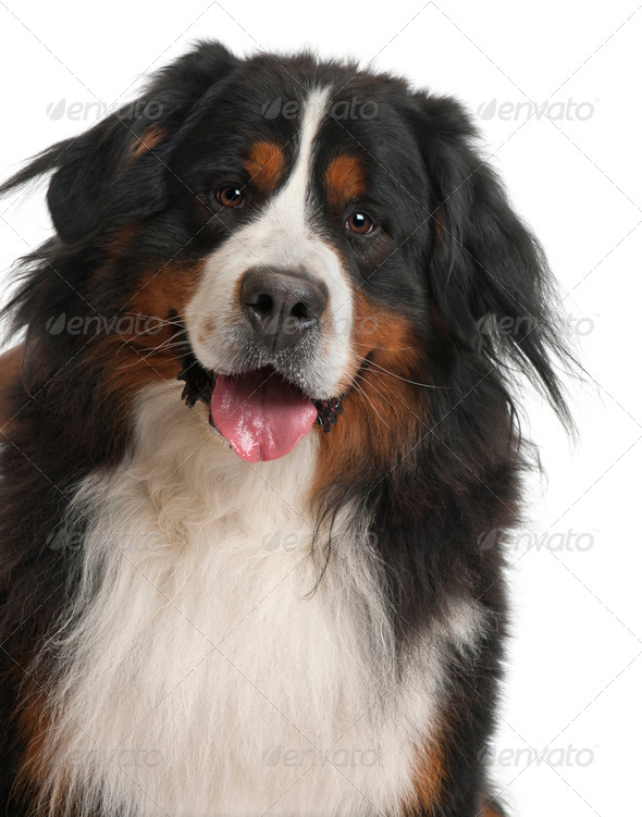 Bernese Mountain Dog, 3 years old, in front of white background - Stock Photo - Images