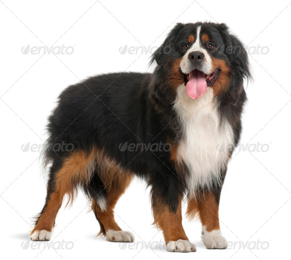 Bernese Mountain Dog, 3 years old, standing in front of white background - Stock Photo - Images