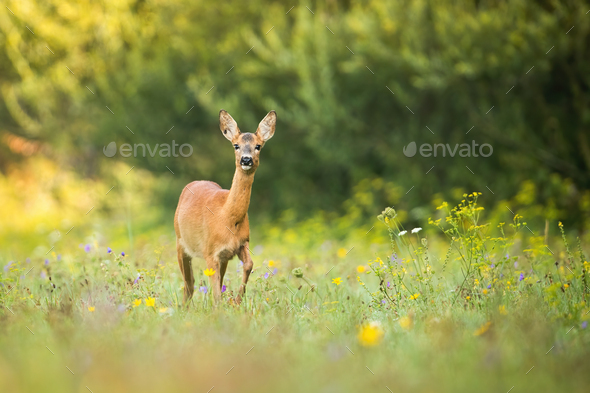 Alert roe deer doe walking on a green meadow with flowers in summer nature - Stock Photo - Images