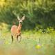 Alert roe deer doe walking on a green meadow with flowers in summer nature - PhotoDune Item for Sale