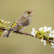 Alert european greenfinch female sitting on branch with blooming white flowers - PhotoDune Item for Sale