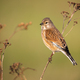 Common linnet female sitting on thin dry plant in spring nature - PhotoDune Item for Sale