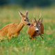 Couple of roe deer buck and doe standing on a stubble field with green clover - PhotoDune Item for Sale