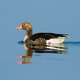 Sunlit solitary greylag goose floating on blue water with reflection on surface - PhotoDune Item for Sale