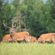 Herd of red deer stags grazing together on a green meadow in summer nature - PhotoDune Item for Sale