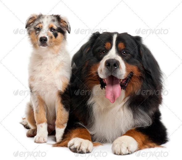 Bernese mountain dog, 3 years old, sitting in front of white background - Stock Photo - Images