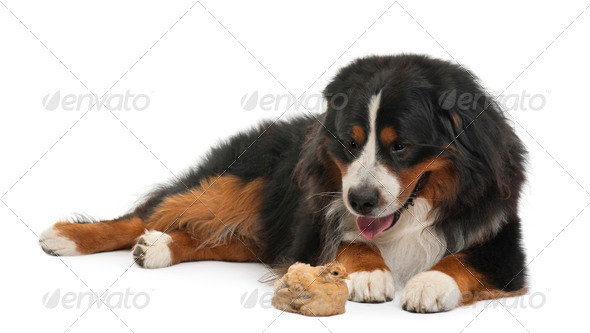Bernese Mountain Dog, 3 years old, and chick lying in front of white background - Stock Photo - Images