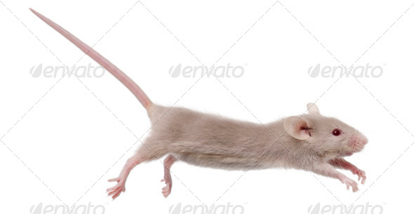 Young mouse jumping in front of white background - Stock Photo - Images
