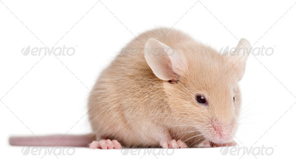 Young mouse in front of white background - Stock Photo - Images