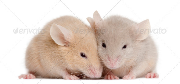 Two young mice in front of white background - Stock Photo - Images