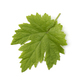 Single fresh grape leaf - PhotoDune Item for Sale
