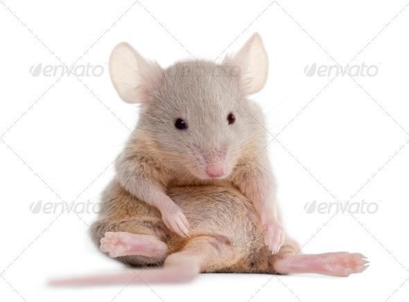 Young mouse sitting in front of white background - Stock Photo - Images