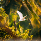 Goa, India. White Little Egret Flying On Background Greenery - PhotoDune Item for Sale