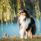 Tricolor Rough Collie, Funny Scottish Collie, Long-haired Collie, English Collie, Lassie Dog Posing - PhotoDune Item for Sale