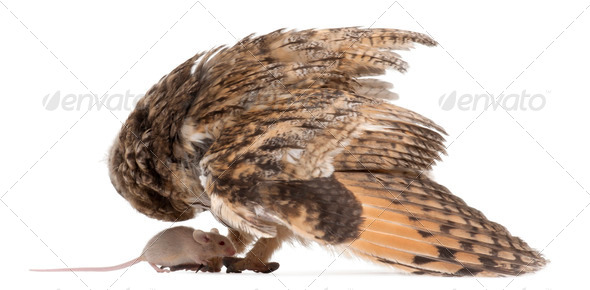 Eurasian Scops-owl looking down at a mouse, Otus scops, 2 months old, in front of white background - Stock Photo - Images
