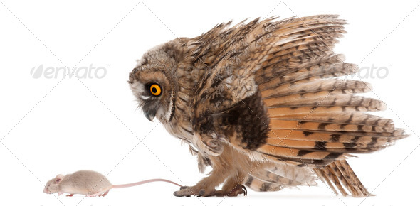 Eurasian Scops-owl looking at a mouse, Otus scops, 2 months old, in front of white background - Stock Photo - Images