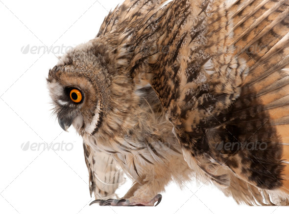 Eurasian Scops-owl, Otus scops, 2 months old, in front of white background - Stock Photo - Images