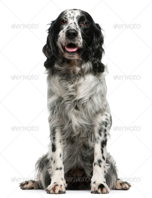 Mixed-breed, 7 years old, sitting in front of white background - Stock Photo - Images
