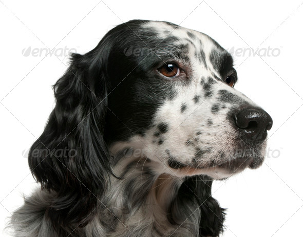 Mixed-breed dog, 7 years old, in front of white background - Stock Photo - Images