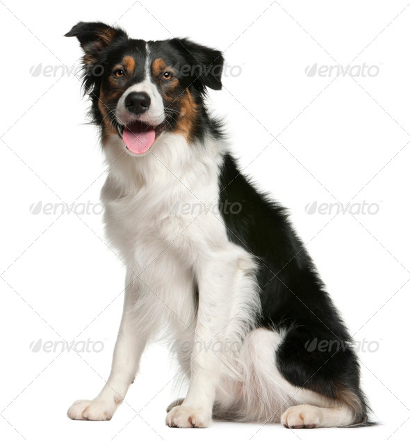 Border collie, 12 months old, sitting in front of white background - Stock Photo - Images