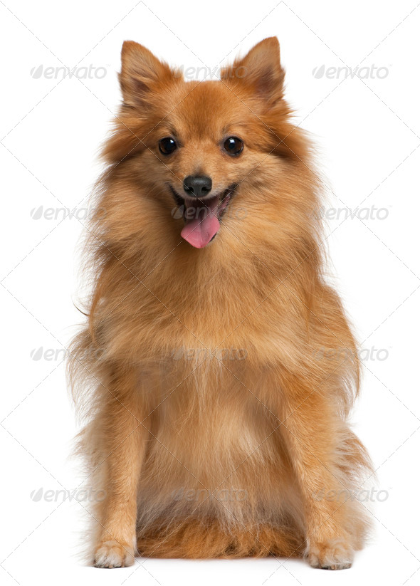German spitz, 4 years old, sitting in front of white background, - Stock Photo - Images