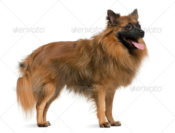 German spitz, 7 years old, standing in front of white background - Stock Photo - Images