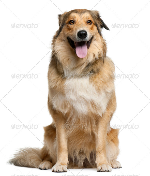 Australian shepherd, 2 years old, sitting in front of white background - Stock Photo - Images