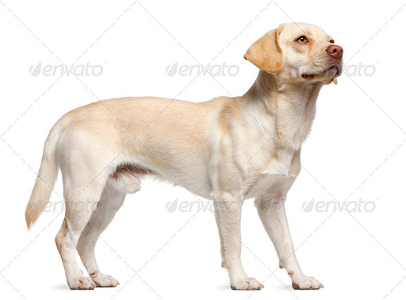 Mixed-breed, 12 months old, standing in front of white background - Stock Photo - Images
