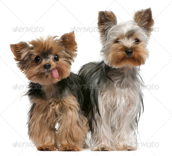 Young and old Yorkshire terriers, 6 months and 12 years old, sitting in front of white background - Stock Photo - Images