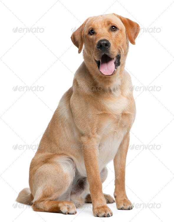 Labrador retriever, 12 months old, sitting in front of white background - Stock Photo - Images