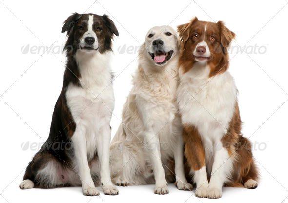 Group of three mixed-breed dogs in front of white background - Stock Photo - Images
