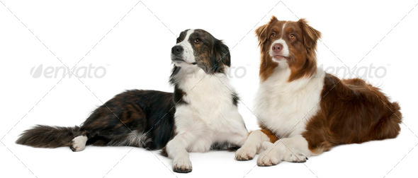 Pair of mixed-breed dogs in front of white background - Stock Photo - Images