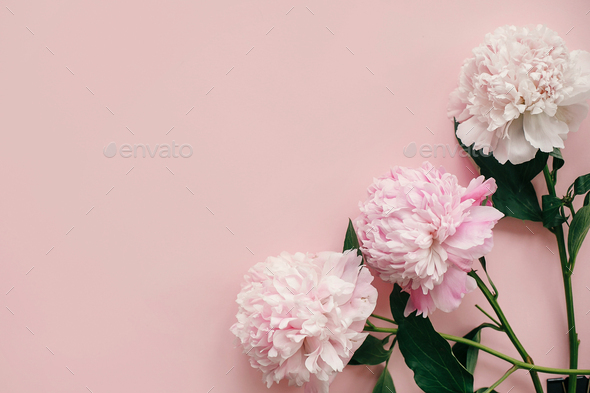 Stylish peonies flat lay. Pink and white peonies border on pastel pink paper - Stock Photo - Images