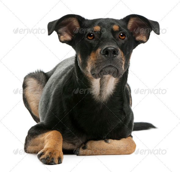 Mixed-breed dog, 12 months old, lying in front of white background - Stock Photo - Images