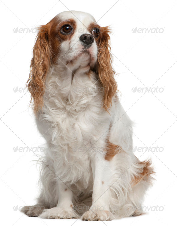 Cavalier king Charles spaniel, 4 years old, sitting in front of white background - Stock Photo - Images
