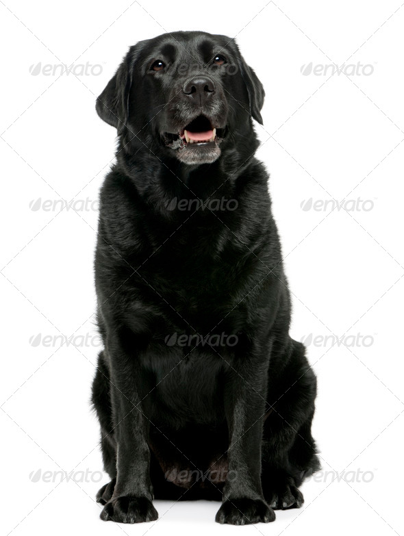 Black Labrador retriever 4 years old, sitting in front of white background - Stock Photo - Images