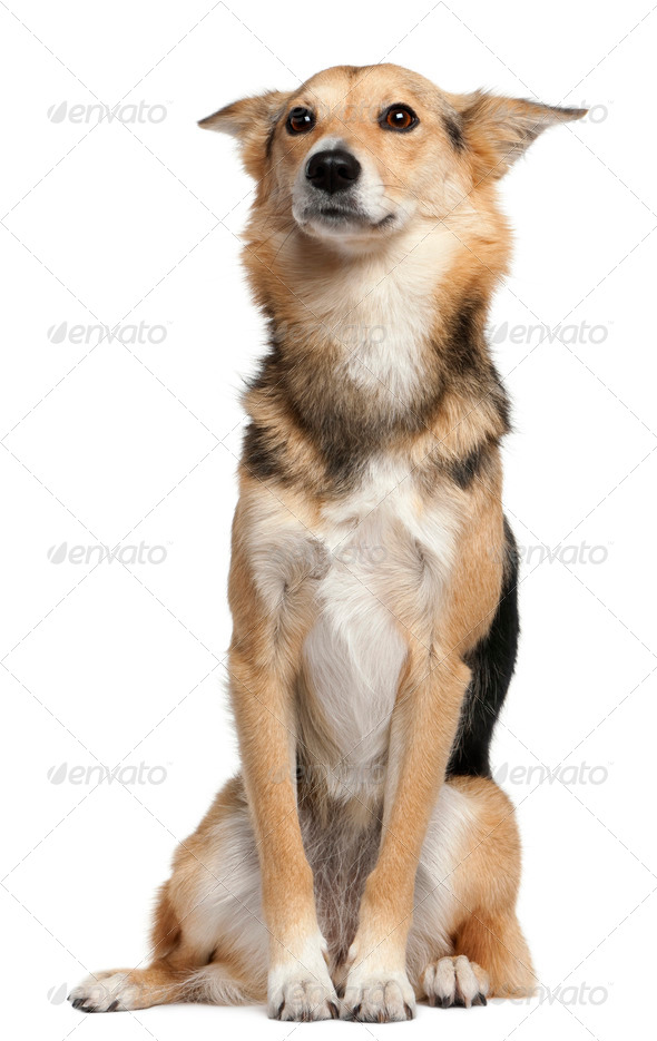 Mixed-breed, 3 years old, sitting in front of white background - Stock Photo - Images