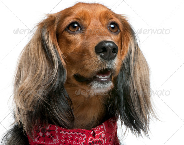 Close-up of Mixed-breed, 3 years old, standing in front of white background - Stock Photo - Images