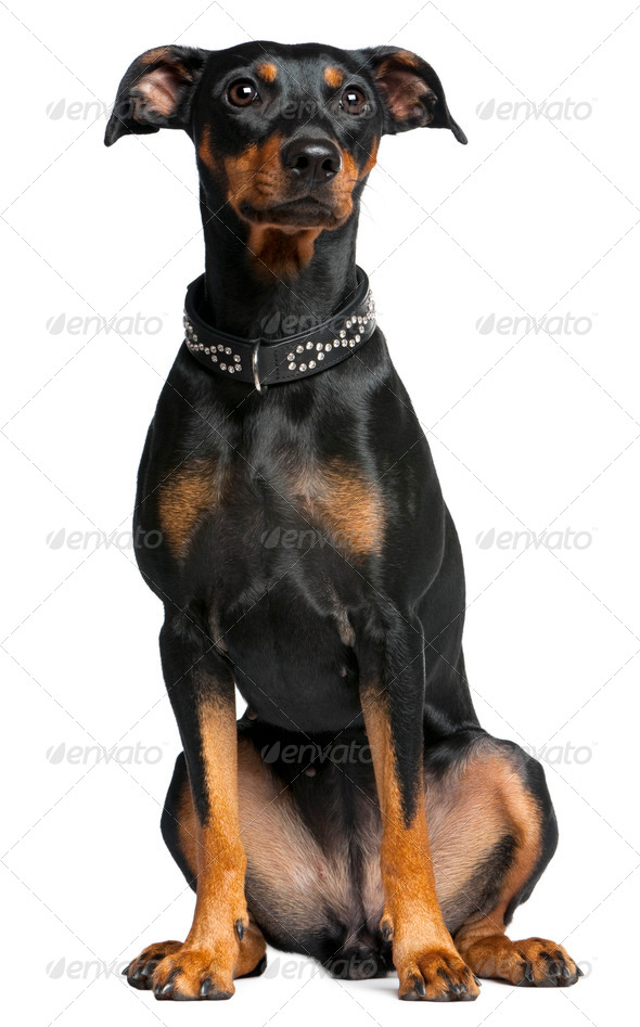 German pinscher, 2 years old, sitting in front of white background - Stock Photo - Images