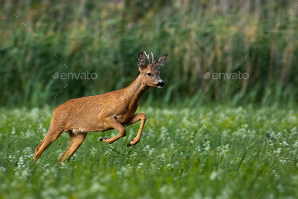 Roe deer buck running fast on meadow with green grass and flowers in summer - Stock Photo - Images