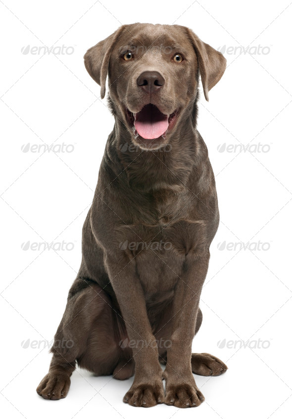 Labrador retriever, 7 months old, sitting in front of white background - Stock Photo - Images