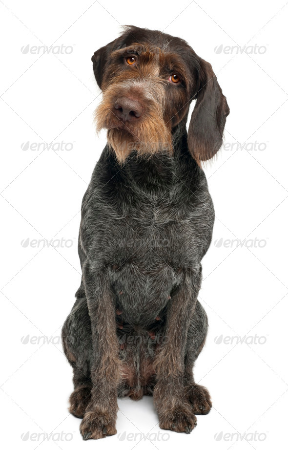 German shorthaired pointer, 6 years old, sitting in front of white background - Stock Photo - Images