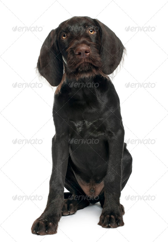 German shorthaired pointer puppy, 3 months old, sitting in front of white background - Stock Photo - Images