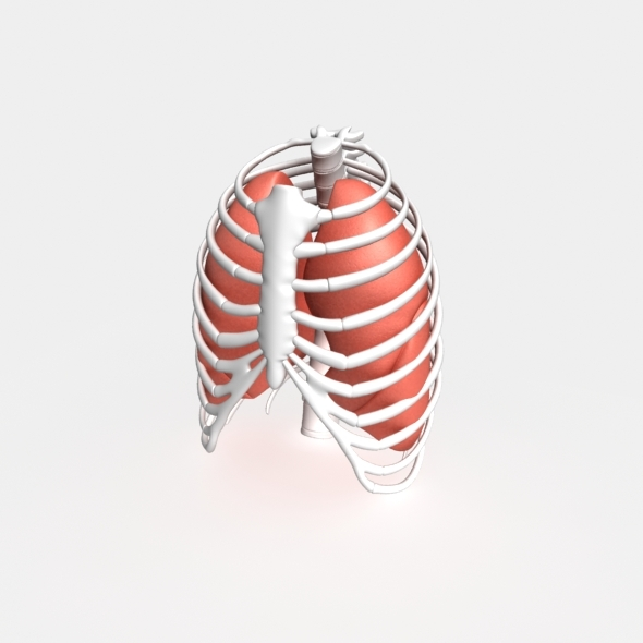 Human lungs - 3DOcean Item for Sale
