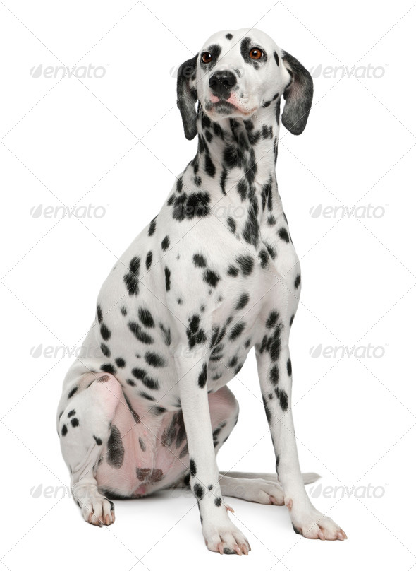 Dalmatian, 2 years old, sitting in front of white background - Stock Photo - Images