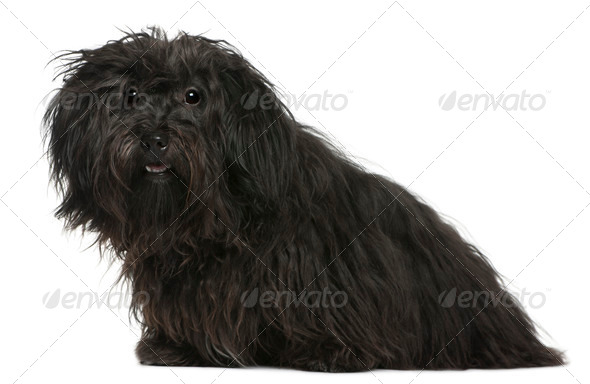 Havanese, 11 months old, sitting in front of white background - Stock Photo - Images
