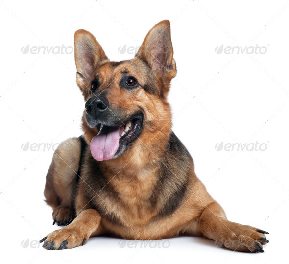German shepherd dog, 10 years old, lying in front of white background - Stock Photo - Images