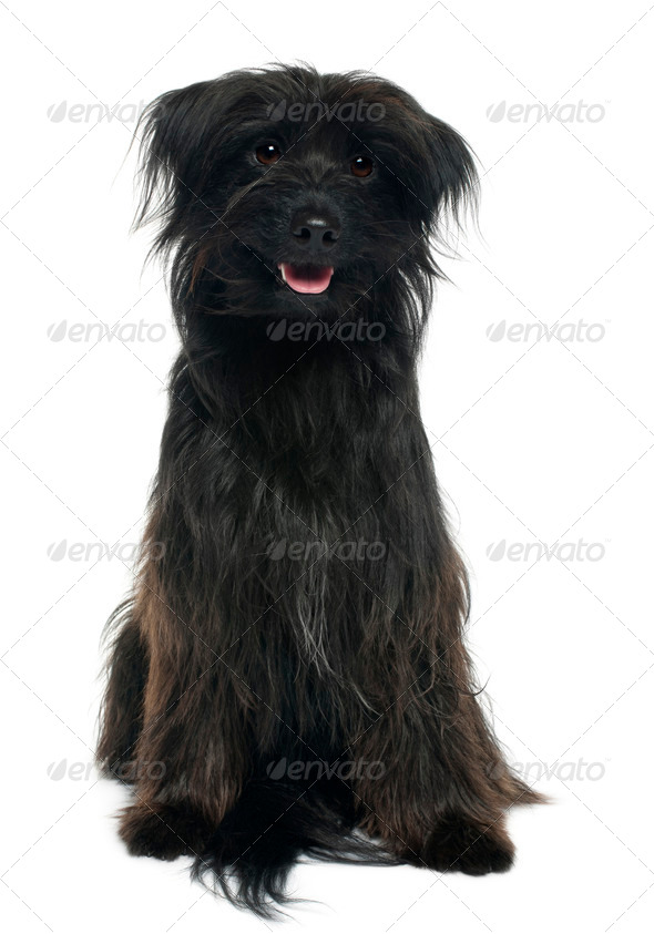 Pyrenean shepherd, 12 years old, sitting in front of white background - Stock Photo - Images