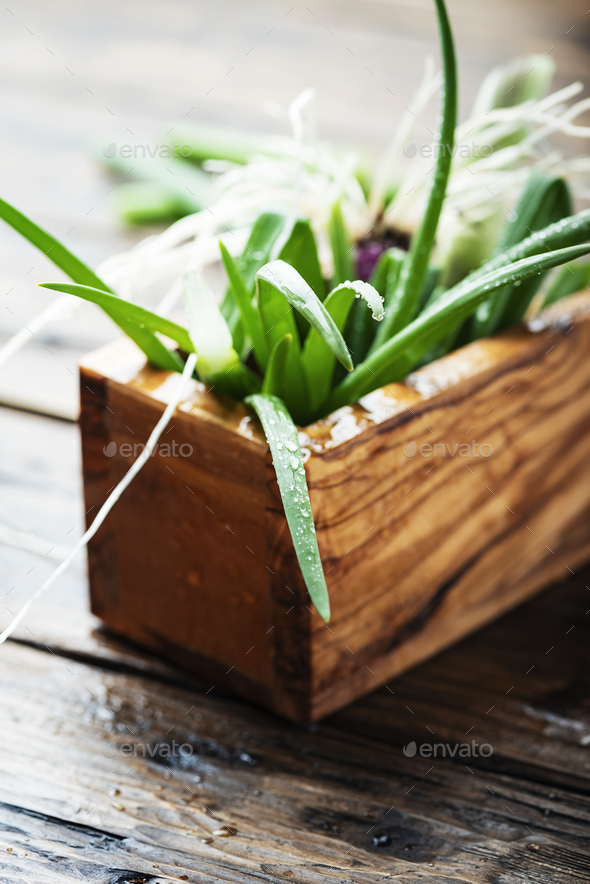 Fresh spring green onion - Stock Photo - Images