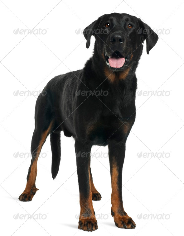 Beauceron, 5 years old, standing in front of white background - Stock Photo - Images